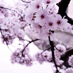 Collection Sakura preset pour Lightroom